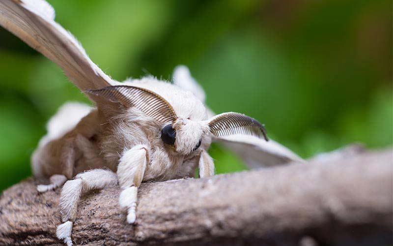 The truth about silk blog - bombyx mori moth silkworm moth