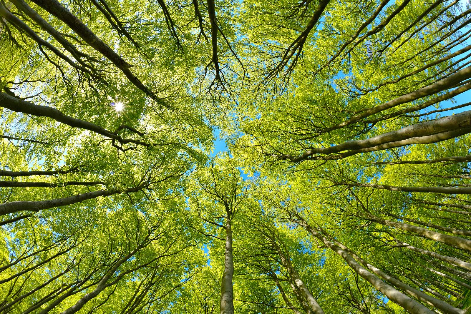 Beech Trees Forest from below