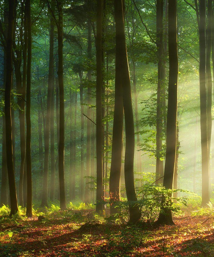 Dawn shining through the trees